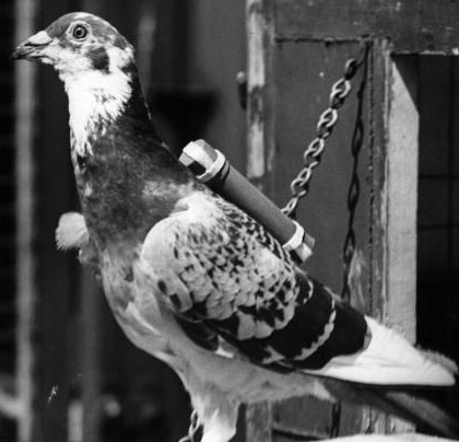Pigeons in WW1